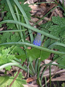 The blue grape hyacinths in the purple-and-white garden are budding.