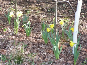 These yellow daffodils are blooming beside the driveway.