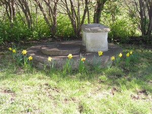 The daffodils around the wellcap are blooming.