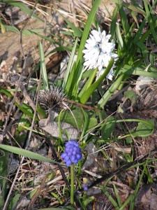 White scilla and blue grape hyacinth are blooming in the wildflower garden