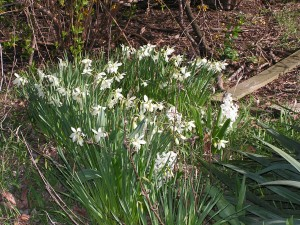 Paperwhite narcissus and hyacinths are blooming in the white garden.