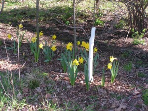 These daffodils are blooming beside the driveway.