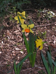 This yellow-and-orange daffodil is blooming by the driveway.