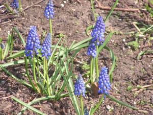 These blue grape hyacinths are blooming by the patio.