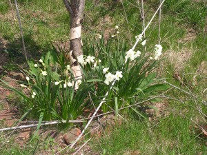 These daffodils are blooming around the apricot tree.