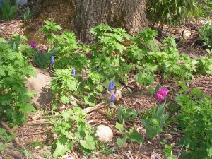 These tulips and blue grape hyacinths are blooming in the purple-and-white garden.
