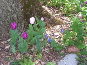 These tulips are blooming in the purple-and-white garden.