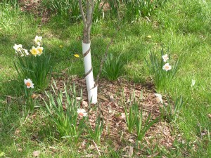 These daffodils are blooming under the contorta willow.