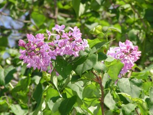 These lilacs are blooming a little ways from the house.
