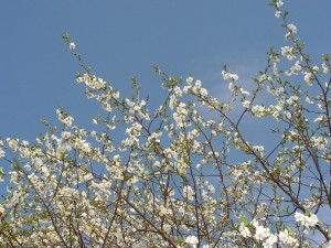 This cherry tree is blooming in the orchard.
