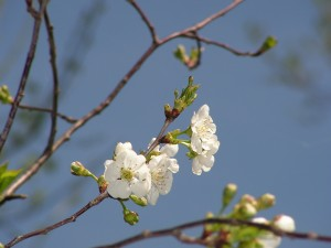 Here is a closeup of the cherry blossoms.