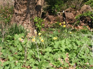 These daffodils are blooming under the mulberry near the orchard.