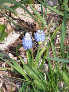 These sky blue grape hyacinths are blooming in the wildflower garden.