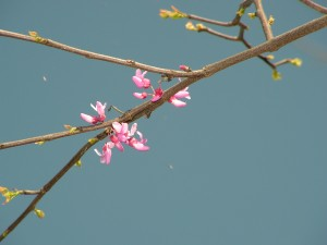 The redbud is blooming in the savanna.