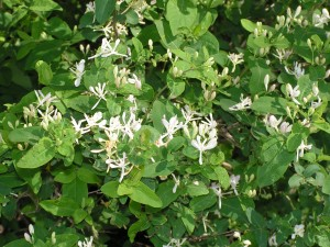This honeysuckle is blooming along the front fence.