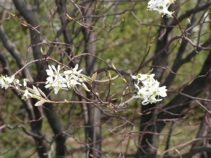 The serviceberry is blooming along the fence.
