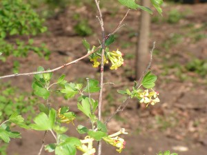 The gold currant is blooming along the fence.