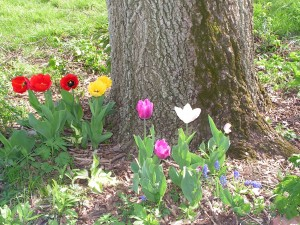 Some fringed tulips in the purple-and-white garden bloomed red and yellow.