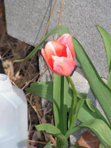 This tulip is blooming beside the barrel garden.