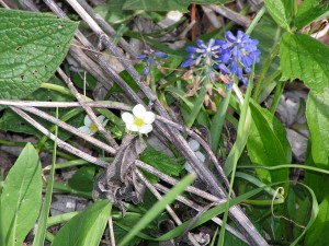 This wild strawberry is blooming in the wildflower garden.