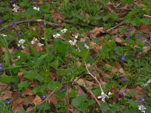 These purple-and-white violets are blooming between the house and the driveway.