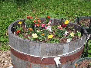 This is a closeup of flowers in the barrel garden.