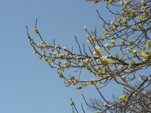The birdgift apple tree is blooming.