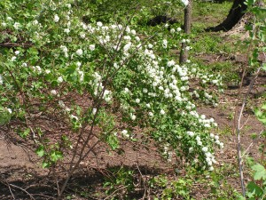 The white spirea is blooming.