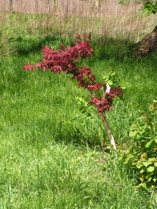 The Japanese maple is nicely leafed out in the savanna.