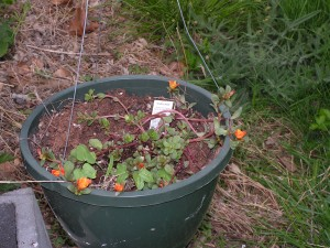 This yellow-orange purslane is in a hanging basket by the barrel garden.