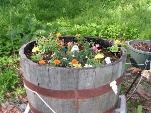 Here is the barrel garden in bloom.