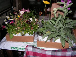Two flats on the table: left has small and medium plants, right has the big gallon pots.