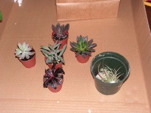 These are the tiny plants from the bag: five succulents and two epiphytes.