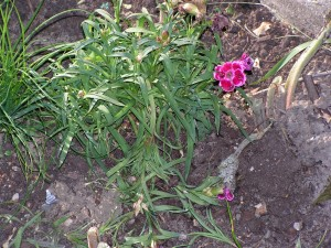 Carnations have been nibbled but are surviving.