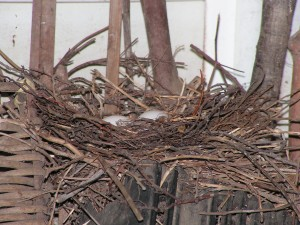 The new mourning dove nest now has two white eggs.