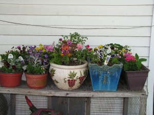 These flowerpots are on the porch under the overhang.