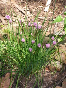 Chives are blooming in the cistern garden.