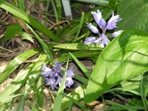 These periwinkle flowers are blooming in the wildflower garden.