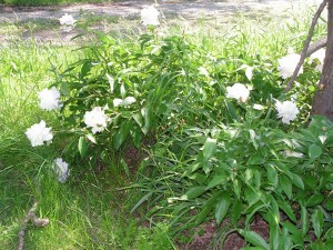 These peonies are blooming in the wagonwheel garden.