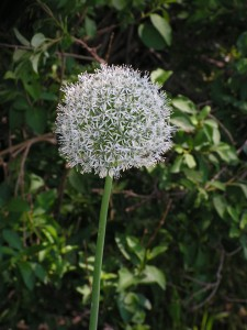 The allium is now in full bloom in the white garden.
