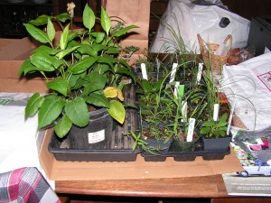 These are the prairie and woodland plants I bought on Saturday.