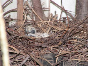 The mourning doves have hatched!