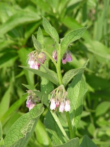 The comfrey is blooming in the wildflower garden.