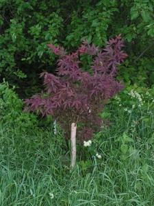 Japanese maple in summer color.
