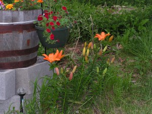 These lilies are blooming beside the barrel garden.