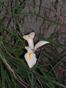 This white iris is blooming under the maple tree.