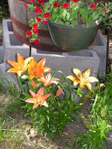 Now there are yellow and salmon lilies along with the orange ones.