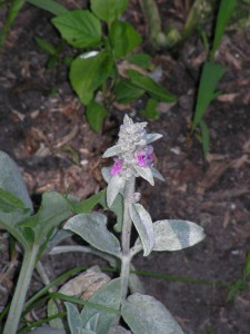 The lamb's ear is blooming.