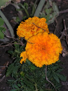 Some of the marigolds have big blooms now.