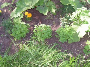 Several varieties of mint are growing in the septic garden.